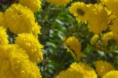 Κίτρινο χρυσάνθεμο στον κήπο φθινοπώρου Στοκ Εικόνες