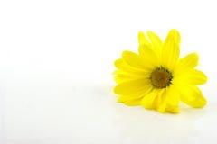 Κίτρινο χρυσάνθεμο στο άσπρο υπόβαθρο Στοκ Εικόνες