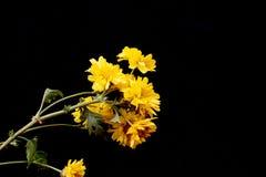 Κίτρινο λουλούδι χρυσάνθεμων στοκ φωτογραφία