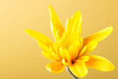 Κίτρινο χρυσάνθεμο Στοκ εικόνες με δικαίωμα ελεύθερης χρήσης