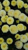 Κίτρινο χρυσάνθεμο Στοκ Εικόνες
