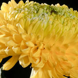 Κίτρινο χρυσάνθεμο Στοκ Εικόνα