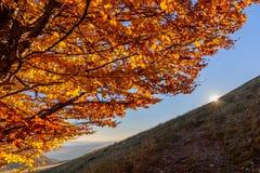 Κίτρινο χρυσό δέντρο φθινοπώρου Sunlighted στο δασικό ήλιο app βουνών Στοκ Εικόνες