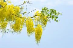 Κίτρινο χρυσό ντους, λουλούδι συριγγίων της Cassia στο δέντρο Στοκ Φωτογραφία
