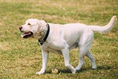 Κίτρινο χρυσό σκυλί του Λαμπραντόρ ολόκληρο με τα μισάνοιχτα σαγόνια, περπάτημα γλωσσών Στοκ εικόνα με δικαίωμα ελεύθερης χρήσης