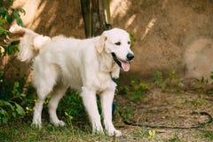 Κίτρινο χρυσό Retriever του Λαμπραντόρ σκυλί με το κατά το ήμισυ ανοικτό στόμα σαγονιών, Στοκ Εικόνες