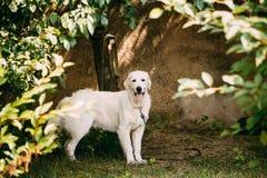 Κίτρινο χρυσό Retriever του Λαμπραντόρ σκυλί με το κατά το ήμισυ ανοικτό στόμα σαγονιών, Στοκ Εικόνα