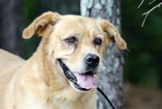Κίτρινο χρυσό Retriever του Λαμπραντόρ σκυλί Στοκ εικόνα με δικαίωμα ελεύθερης χρήσης