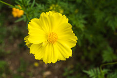 Κίτρινο όμορφο λουλούδι κόσμου Στοκ Εικόνα