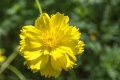 Κίτρινο όμορφο λουλούδι κόσμου Στοκ εικόνες με δικαίωμα ελεύθερης χρήσης
