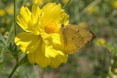 Κίτρινο όμορφο λουλούδι κόσμου Στοκ εικόνα με δικαίωμα ελεύθερης χρήσης