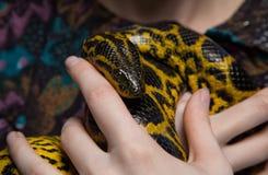 Κίτρινο anaconda στα χέρια γυναικών ` s Στοκ Εικόνα