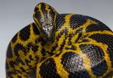 Κίτρινο anaconda συρσίματος στον κόμβο Στοκ Φωτογραφίες