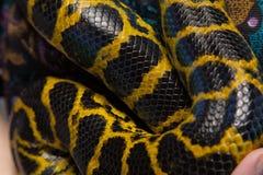 Κίτρινο anaconda φιδιών Στοκ φωτογραφίες με δικαίωμα ελεύθερης χρήσης