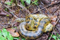 Κίτρινο Anaconda Στοκ εικόνα με δικαίωμα ελεύθερης χρήσης