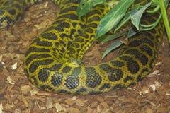 Κίτρινο anaconda (notaeus Eunectes) Στοκ φωτογραφία με δικαίωμα ελεύθερης χρήσης