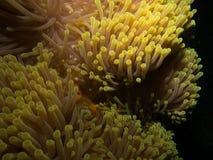 Κίτρινο anemone θάλασσας Στοκ Φωτογραφία