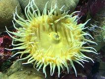 Κίτρινο anemone θάλασσας Στοκ εικόνα με δικαίωμα ελεύθερης χρήσης