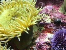 Κίτρινο anemone θάλασσας Στοκ Εικόνες