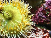 Κίτρινο anemone θάλασσας Στοκ φωτογραφία με δικαίωμα ελεύθερης χρήσης