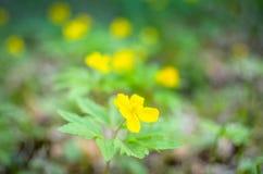 Κίτρινο anemone, κίτρινο ξύλινο anemone, anemone Anemone νεραγκουλών ranunculoides Στοκ Φωτογραφίες
