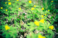 Κίτρινο anemone, κίτρινο ξύλινο anemone, anemone Anemone νεραγκουλών ranunculoides Στοκ φωτογραφία με δικαίωμα ελεύθερης χρήσης