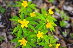 Κίτρινο anemone, κίτρινο ξύλινο anemone, anemone Anemone νεραγκουλών ranunculoides Στοκ Εικόνες