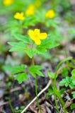 Κίτρινο anemone, κίτρινο ξύλινο anemone, anemone Anemone νεραγκουλών ranunculoides Στοκ φωτογραφίες με δικαίωμα ελεύθερης χρήσης
