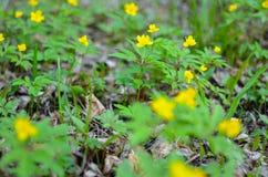 Κίτρινο anemone, κίτρινο ξύλινο anemone, anemone Anemone νεραγκουλών ranunculoides Στοκ Εικόνα