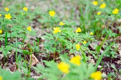 Κίτρινο anemone, κίτρινο ξύλινο anemone, anemone Anemone νεραγκουλών ranunculoides Στοκ εικόνα με δικαίωμα ελεύθερης χρήσης
