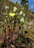 Κίτρινο anemone του βουνού (alpina pulsatilla)) Στοκ εικόνες με δικαίωμα ελεύθερης χρήσης