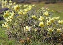 Κίτρινο anemone του βουνού (alpina pulsatilla)) Στοκ εικόνα με δικαίωμα ελεύθερης χρήσης