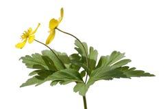 Κίτρινο anemone Στοκ εικόνες με δικαίωμα ελεύθερης χρήσης