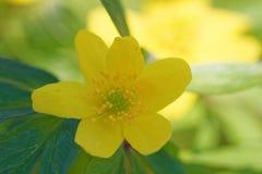 Κίτρινο anemone Στοκ Φωτογραφίες