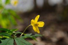 Κίτρινο anemone Στοκ φωτογραφία με δικαίωμα ελεύθερης χρήσης