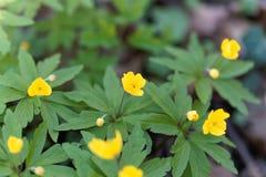 Κίτρινο anemone Anemone ranunculoides Στοκ φωτογραφίες με δικαίωμα ελεύθερης χρήσης