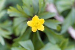 Κίτρινο anemone Anemone ranunculoides Στοκ εικόνα με δικαίωμα ελεύθερης χρήσης