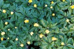 Κίτρινο anemone Anemone ranunculoides Στοκ Εικόνα