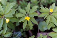 Κίτρινο anemone Anemone ranunculoides Στοκ εικόνες με δικαίωμα ελεύθερης χρήσης