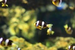 Κίτρινο anemonefish Στοκ εικόνα με δικαίωμα ελεύθερης χρήσης