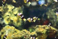 Κίτρινο anemonefish Στοκ φωτογραφία με δικαίωμα ελεύθερης χρήσης