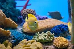 Κίτρινο angelfish που κολυμπά μέσω του κοραλλιού Στοκ Φωτογραφίες