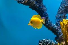 Κίτρινο angelfish που κολυμπά στο ενυδρείο Στοκ Φωτογραφία