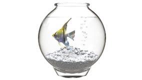 Κίτρινο angelfish σε ένα fishbowl Στοκ Φωτογραφία