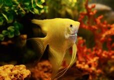 Κίτρινο angelfish Στοκ Φωτογραφία