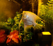 Κίτρινο angelfish Στοκ εικόνα με δικαίωμα ελεύθερης χρήσης