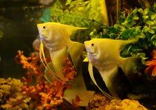 Κίτρινο angelfish Στοκ εικόνες με δικαίωμα ελεύθερης χρήσης