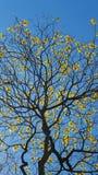Κίτρινο araguaney δέντρων, εθνικό δέντρο της Βενεζουέλας Στοκ φωτογραφία με δικαίωμα ελεύθερης χρήσης