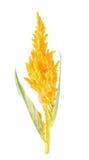 Κίτρινο argentea Celosia Στοκ Εικόνα