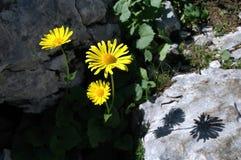 Κίτρινο arnica λουλούδι Στοκ φωτογραφία με δικαίωμα ελεύθερης χρήσης